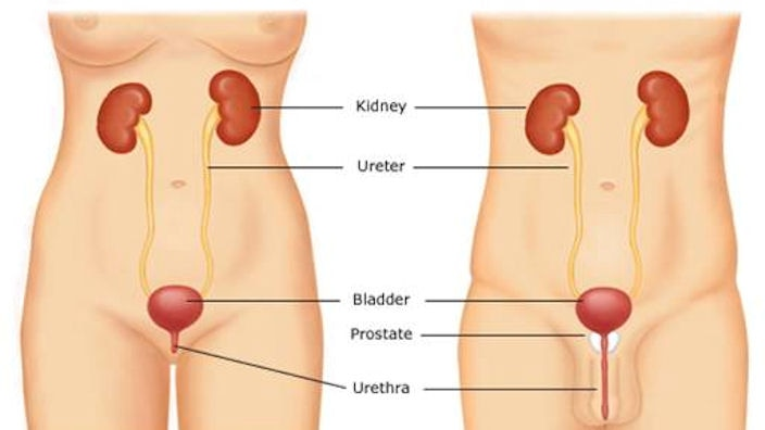 Urinary problems are typically caused by a dysfunction in the urinary system.